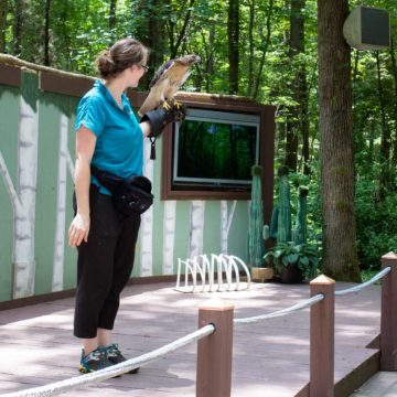 A Carolina Raptor Center employee holds a hawk in her hand during a demonstration for visitors.