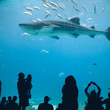 A large shark swims by a glass window at the Georgia Aquarium